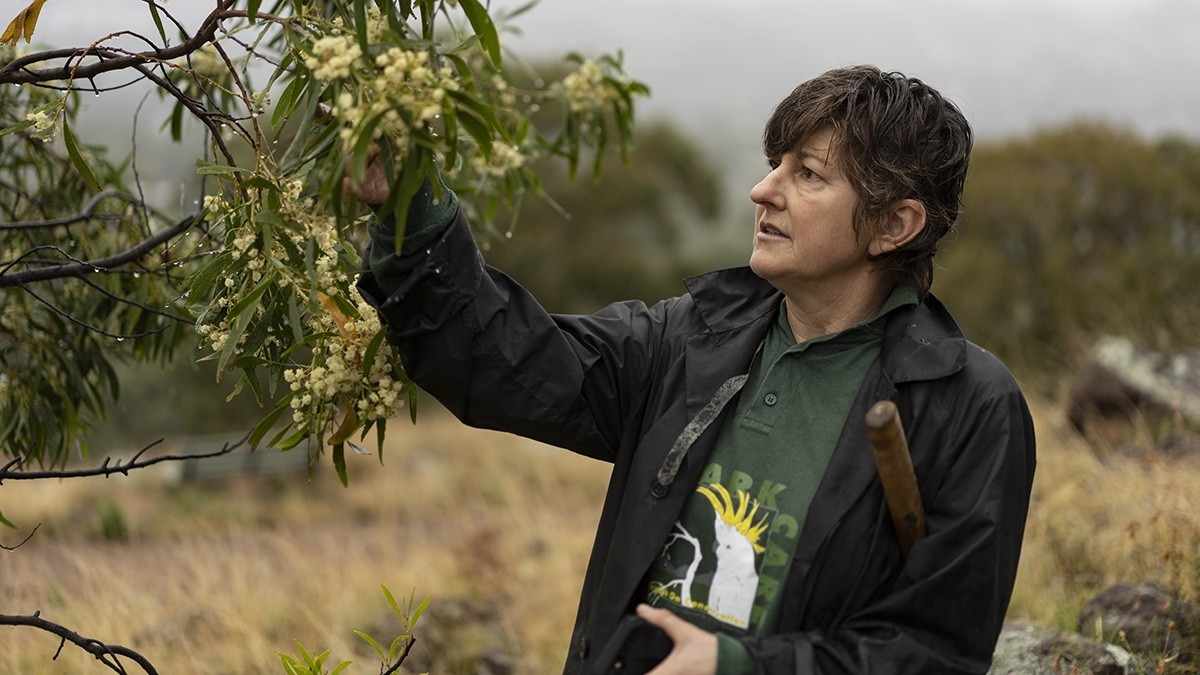 Woman in natural bush setting, she is looking up at a wattle tree and has a mattock under her elbow. Her shirt reads Park Care and she is also wearing a rain coat.