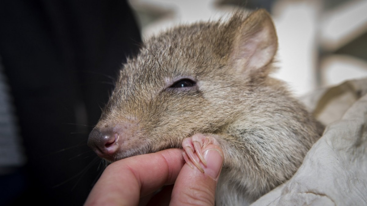 A bettong being held by an outreach officer.