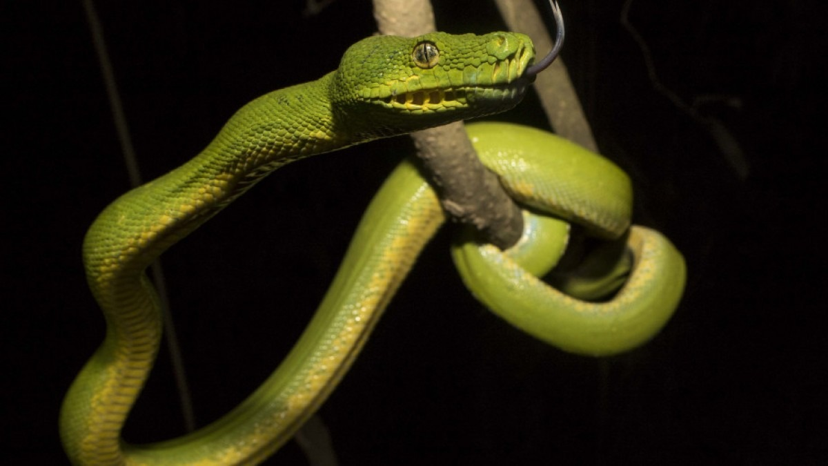 Green python in a tree