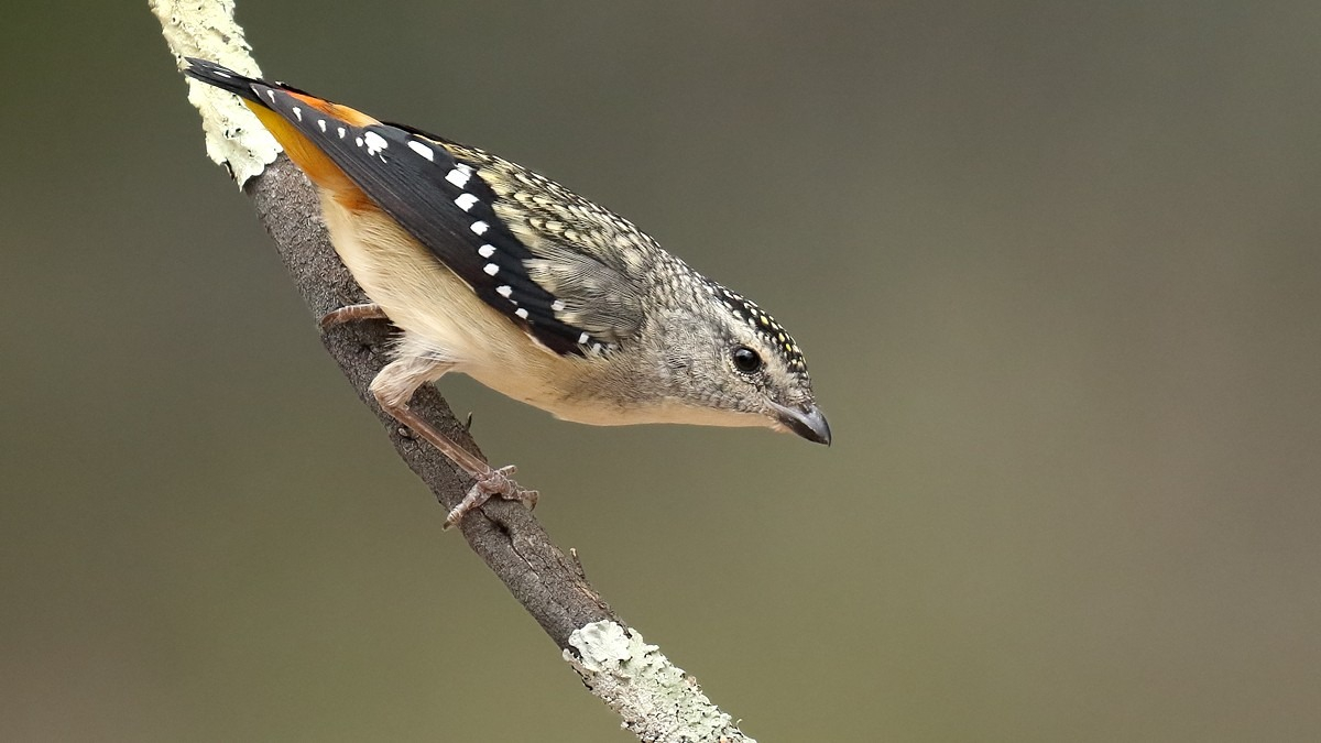 Spotted Pardalote by Patrick Kavanagh