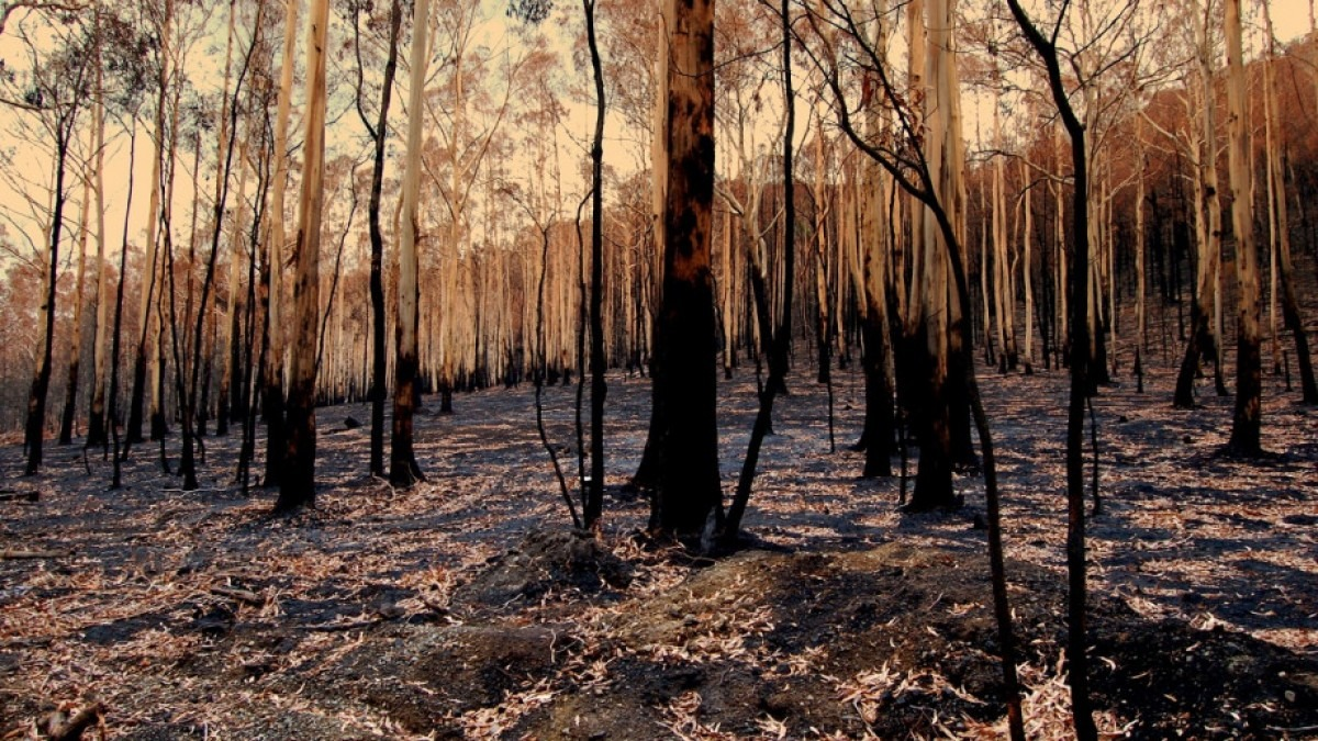 Forest after bushfire