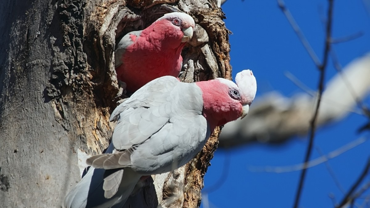 Two galahs in a eucalypt hollow