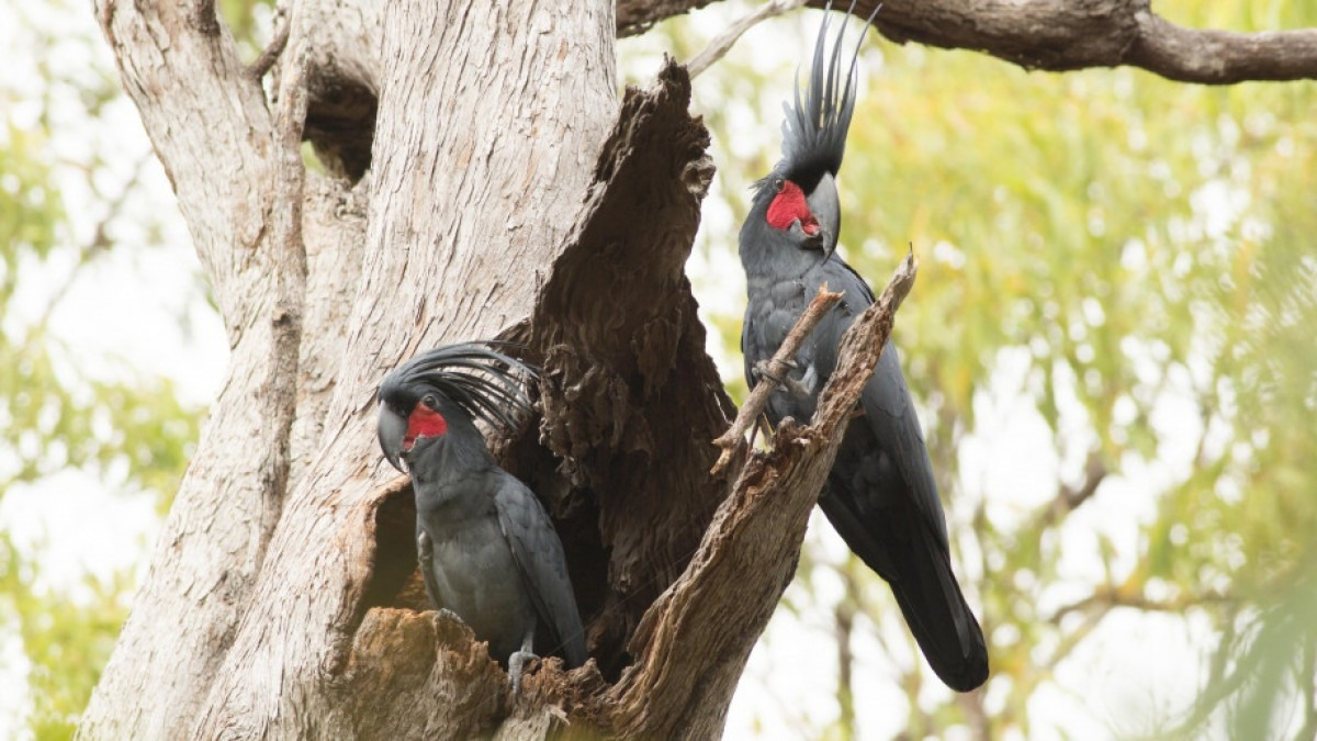 Two palm cockatoos perching on tree hollow. The birds have black feathers with a red spot around their faces.