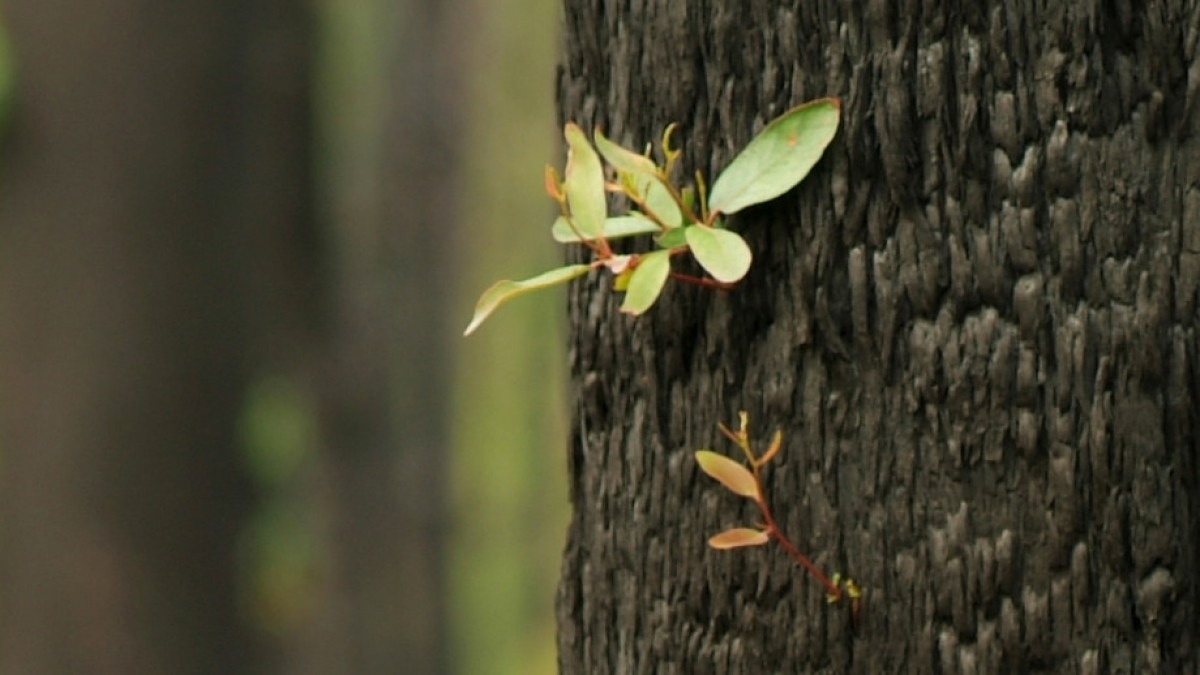 Shoots growing from eucalyptus tree.