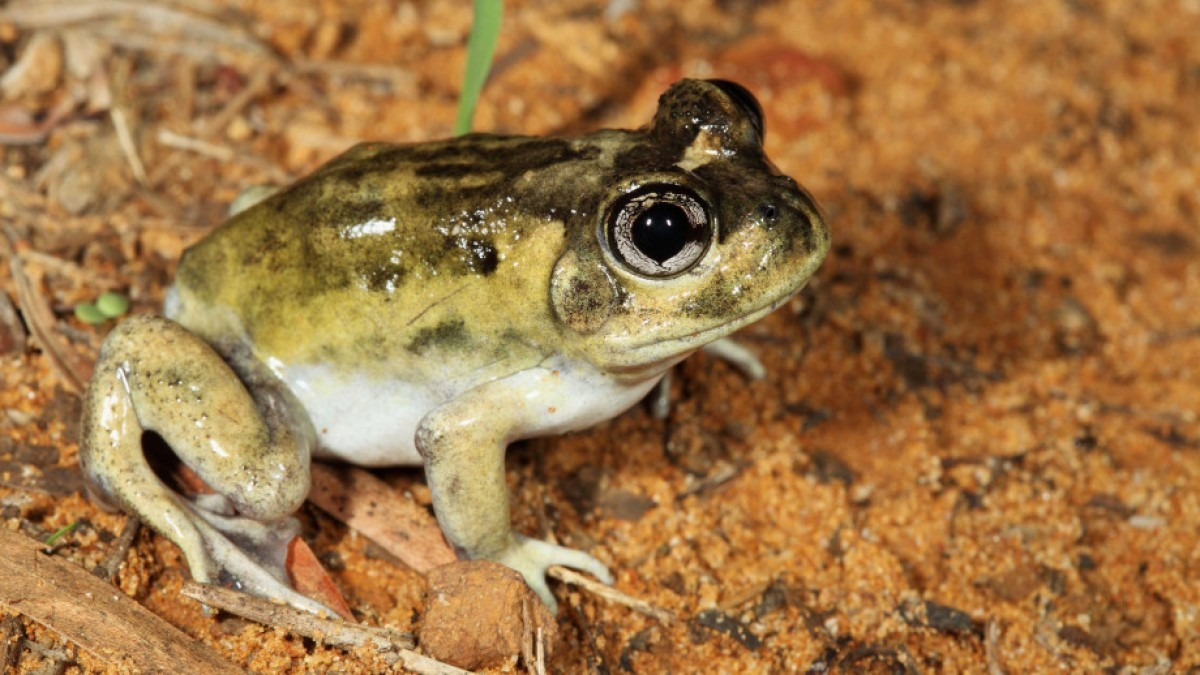 A burrowing frog.