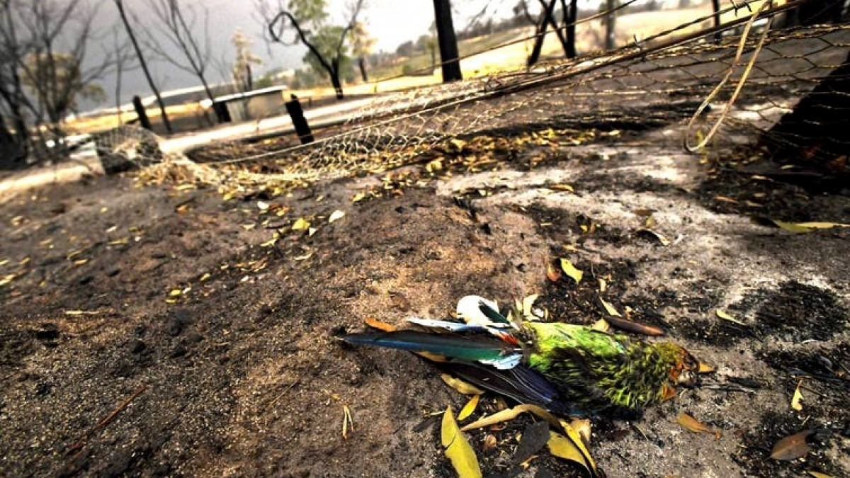 Dead bird on the ground after bushfire
