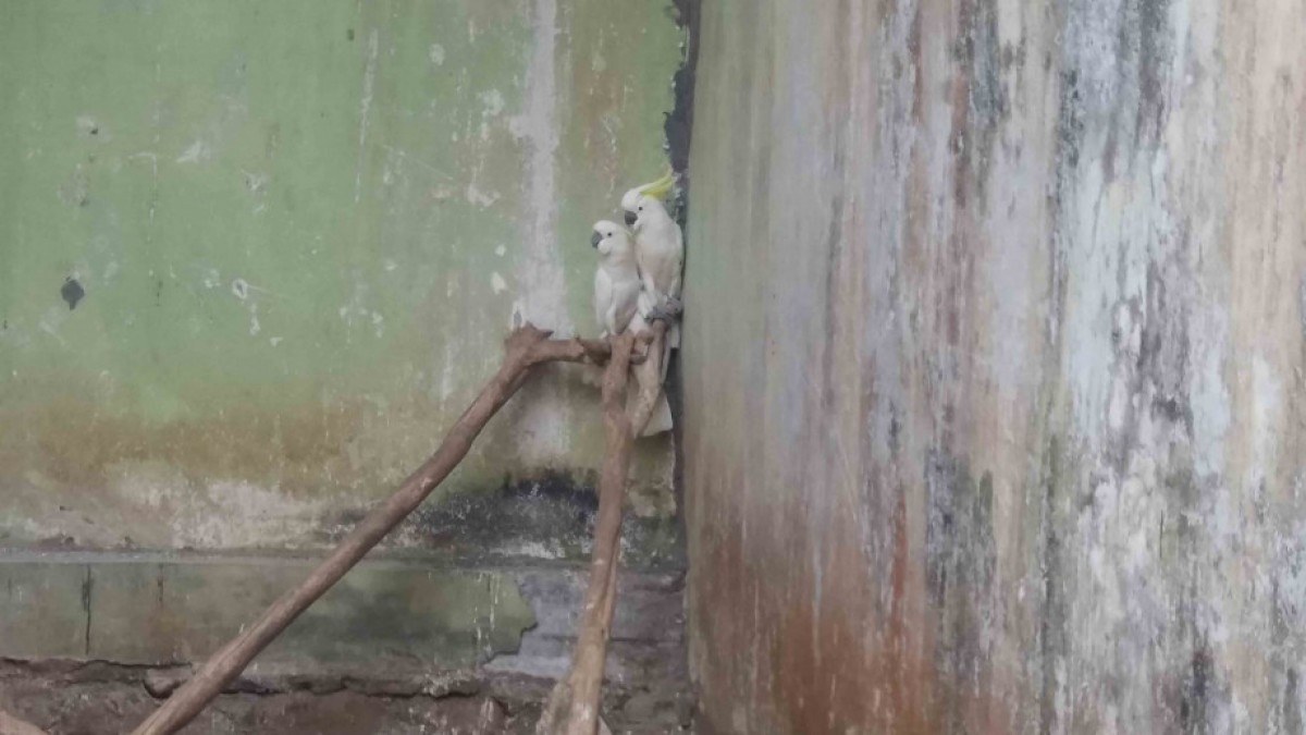 Two sulphur crested cockatoos in concrete room.