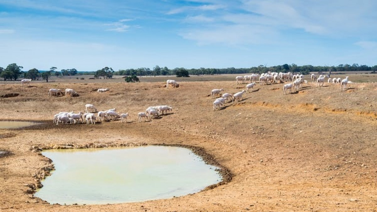 Sheep in dry paddock with waterhole