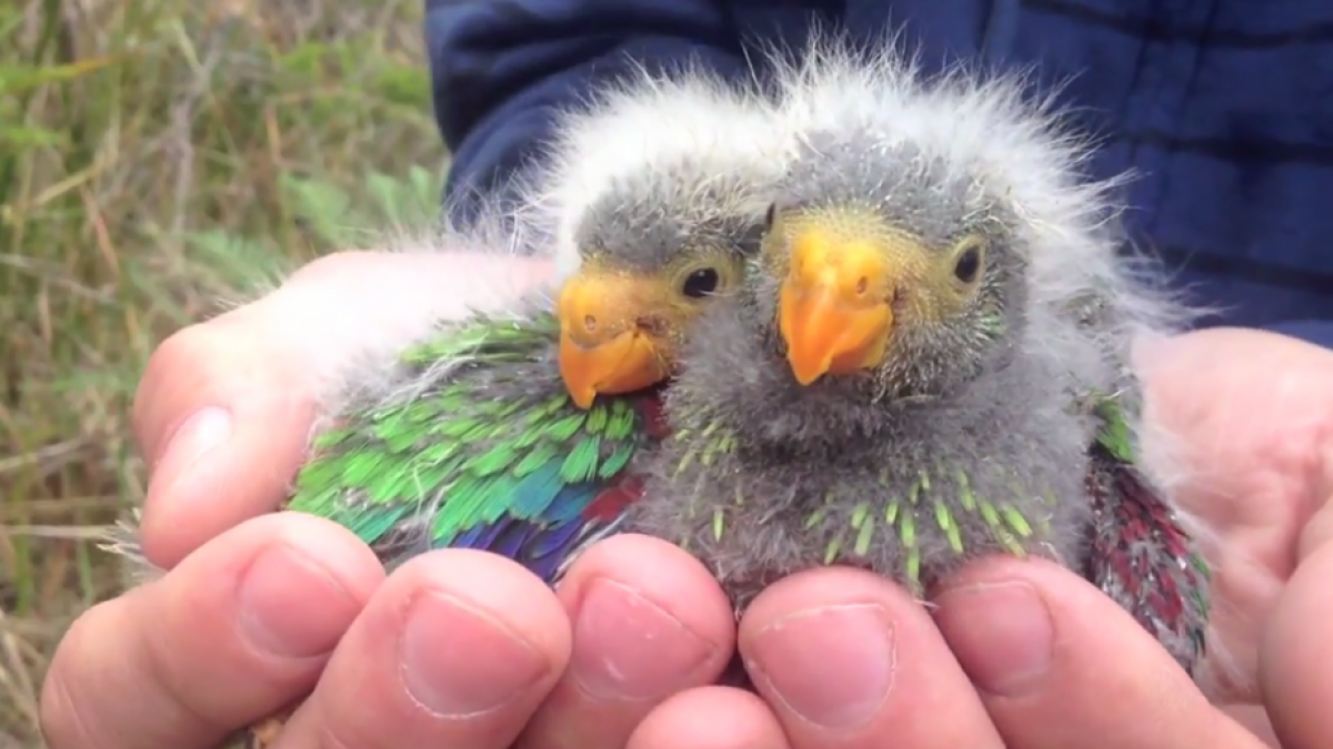 Close up photo of two swift parrot chicks, held in a person's hands. The birds are grey and fluffy with rainbow coloured feathers.