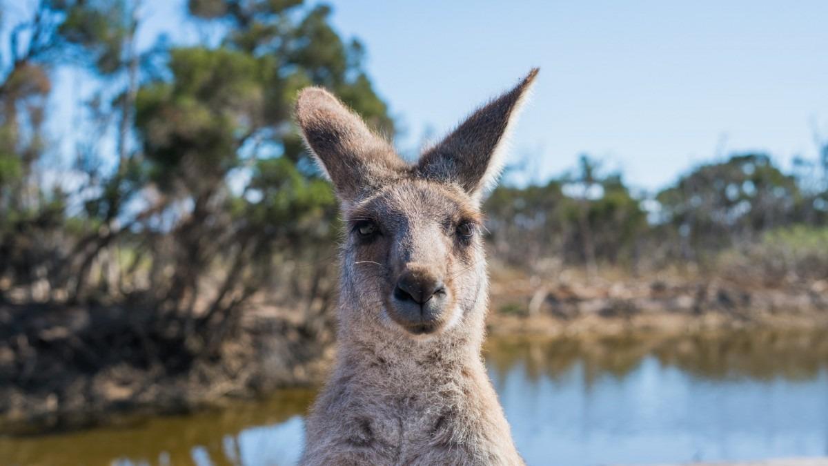 A kangaroo looking at the camera