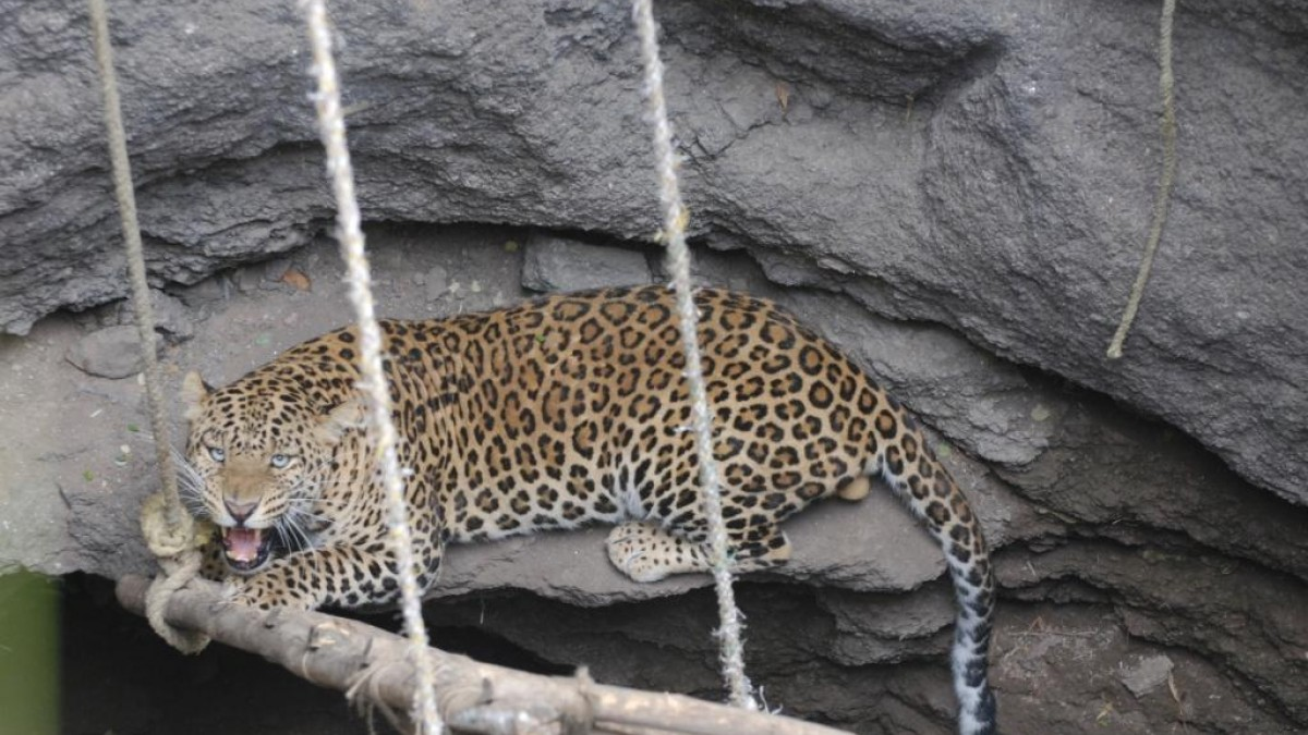 A leopard trapped in a well in rural India