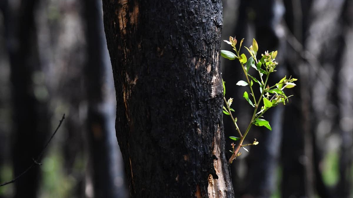 Record and upload what you see on bush walks to help experts monitor fire recovery. Darren England/AAP