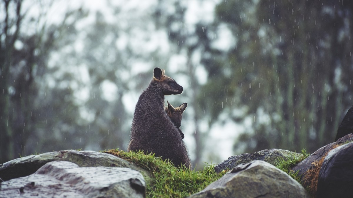 Two wallabies sitting on rocks in rain