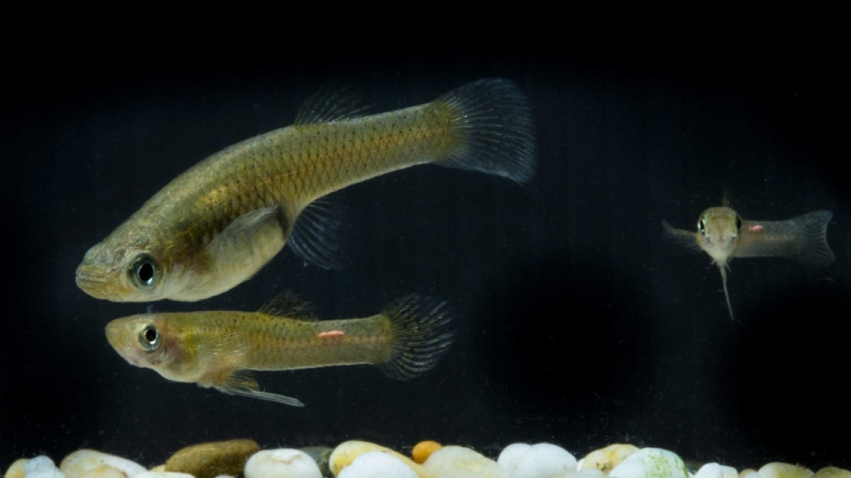 Some small fish, swimming, against a dark background. The fish are a golden colour.