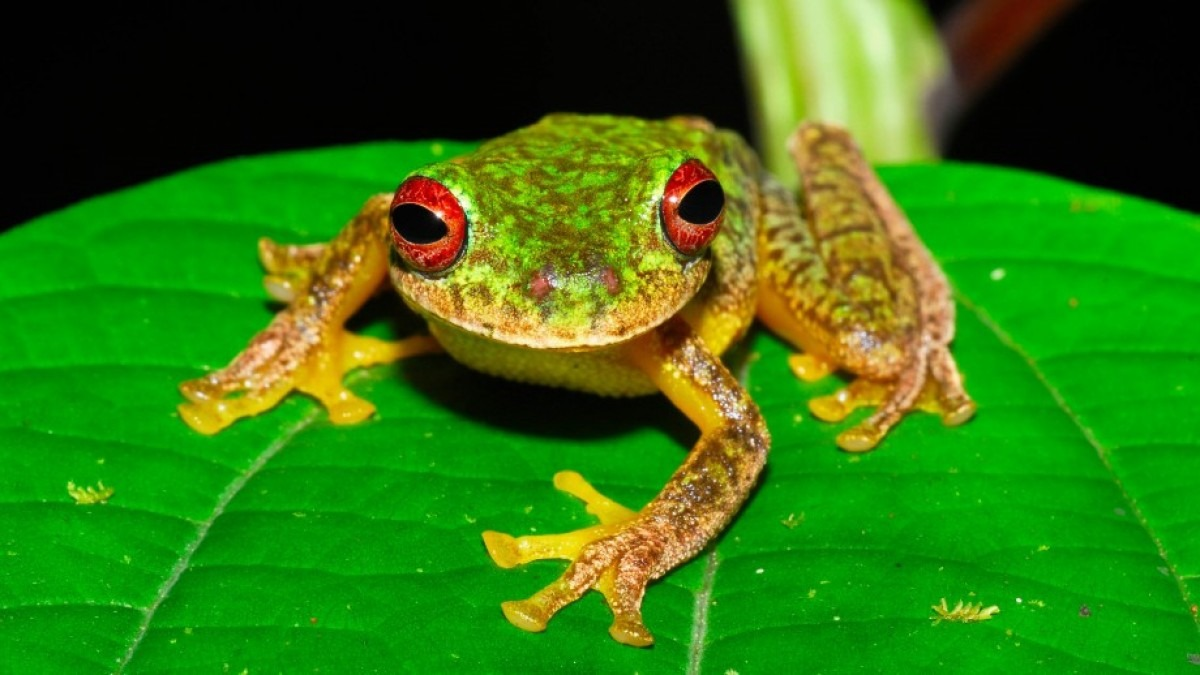 A Mossy Red-eyed Frog sits on a leaf in Honduras