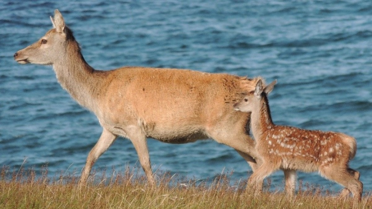 A red deer with her calf